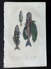 Lacepede 1840 Hand Col Fish Print. Flying Fish 65